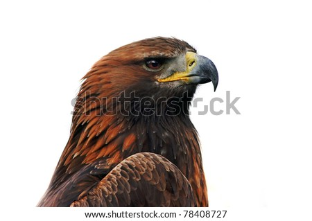 Beautiful  grown eastern imperial eagle, close up portrait over a white background - stock photo