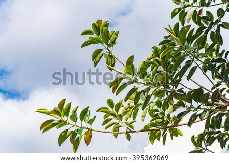Beautiful gum tree with green leaves against blue sky background.  Tropical ficus elastica bush outside on Lanzarote Canary island on a sunny day, image for nature gardening concept blog, website - stock photo
