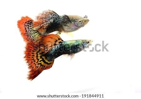 Beautiful Guppy Fish Isolated on white - stock photo