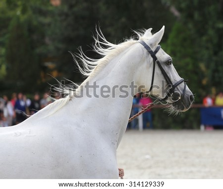 Beautiful half-bred stallion galloping on a horse event - stock photo