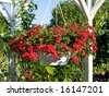 Beautiful hanging flowerpot basket with red flowers in a garden - stock photo