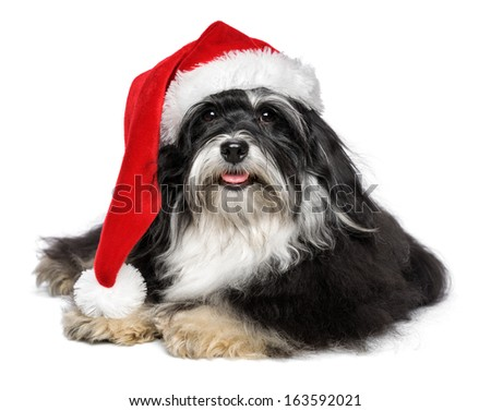Beautiful happy lying Bichon Havanese dog in a Christmas - Santa hat and with white beard. Isolated on a white background