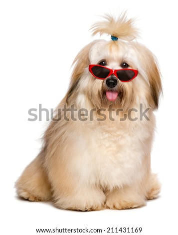 Beautiful happy reddish Bichon Havanese dog is wearing a funny red sunglasses and looking at camera -  Isolated on a white background - stock photo