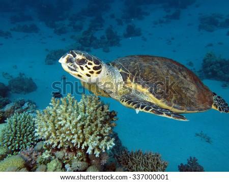 Beautiful hawksbill turtle - stock photo