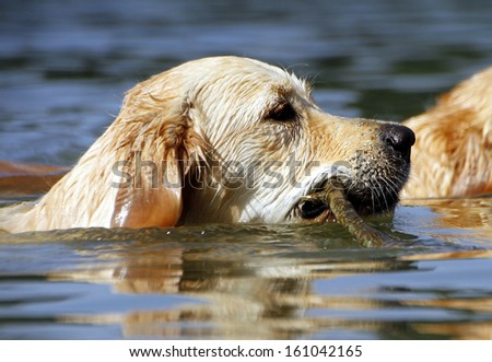 Beautiful headshot of a golden retriever doing what they love best, swimming! - stock photo