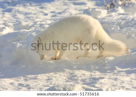 Beautiful, healthy white arctic fox, sniffing for food on the arctic tundra