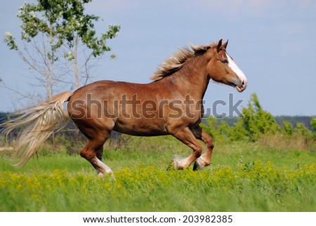 Beautiful heavy draft horse mare galloping on field background - stock photo