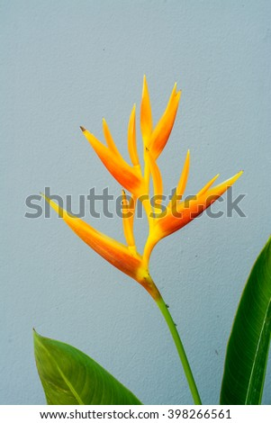 Beautiful Heliconia flower blooming on grey background. - stock photo