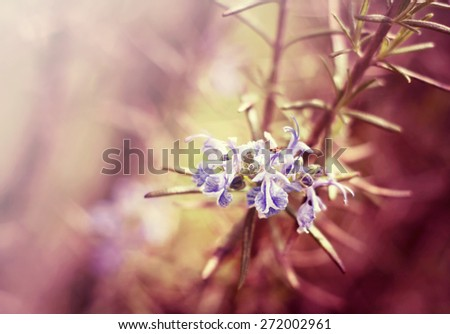 Beautiful herbals - purple rosemary flowers - stock photo