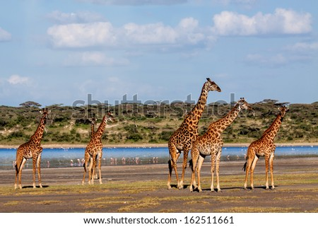 Beautiful herd of Giraffes near Ndutu River in the Serengeti, Tanzania - stock photo