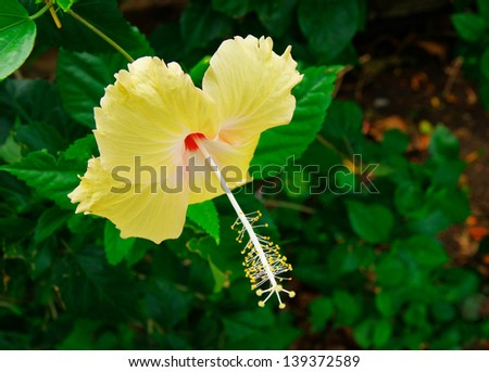 beautiful hibiscus - stock photo