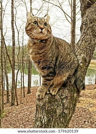 Beautiful Highland Lynx tabby cat sitting in a tree looking around, a lake is in the background. - stock photo