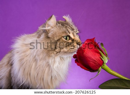 Beautiful Highlander cat smelling red rose on purple background - stock photo