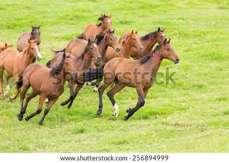 beautiful horse herd running on the field - stock photo