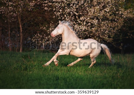Beautiful horse rare suit jumps on the field against a background of a blossoming tree. White stallion runs canter and he develops a mane in the wind - stock photo
