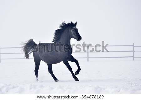 Beautiful horse running outdoor in winter - stock photo