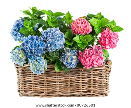 beautiful hortensia isolated on white. colorful hydrangea in basket - stock photo