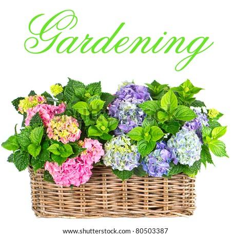 beautiful hortensia on white background. colorful hydrangea. gardening - stock photo