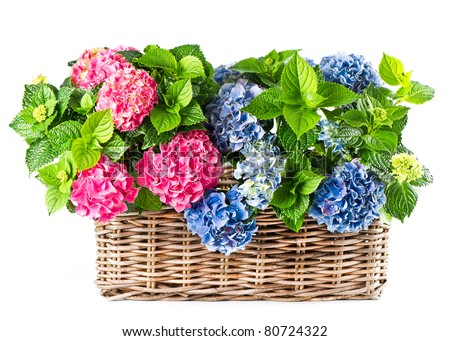 beautiful hortensia on white background. colorful hydrangea in basket - stock photo