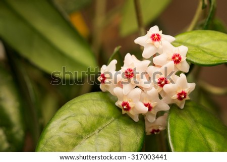 Beautiful hoya carnosa flowers in green leaves indoor - stock photo