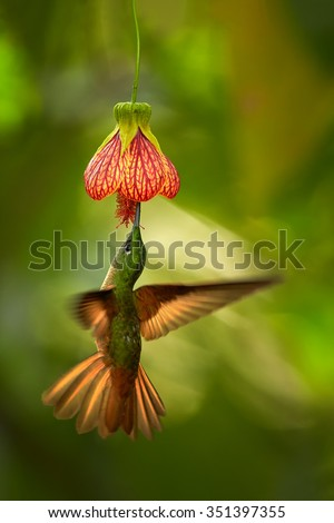 Beautiful  hummingbird Fawn-breasted Brilliant  Heliodoxa rubinoides cervinigularis feeding from red Abutilon flower like bell. Orange wings.Blurred tropical yellow and green background. Ecuador. - stock photo