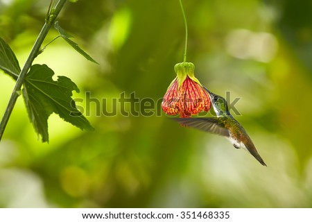 Beautiful hummingbird  feeding from red Abutilon flower like bell. Blurred tropical yellow and green background. Ecuador. - stock photo