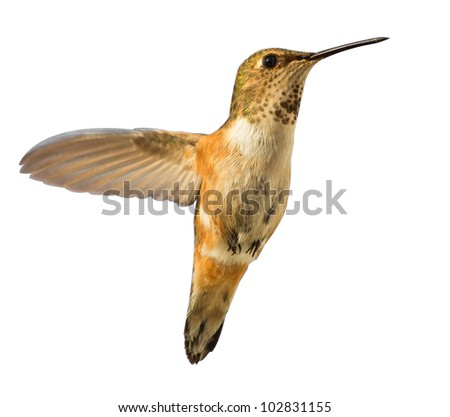 Beautiful Hummingbird hovering in mid air - stock photo
