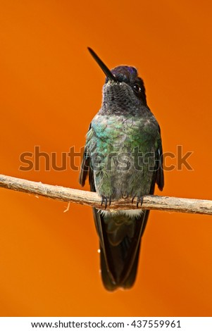 Beautiful hummingbird. Orange and green small bird from mountain cloud forest in Costa Rica. Magnificent Hummingbird, Eugenes fulgens, hummingbird from Costa Rica. Hummingbird in the forest. - stock photo
