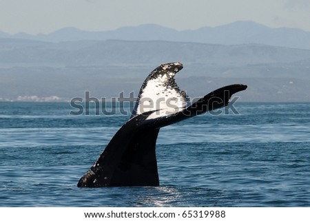 beautiful humpback - stock photo