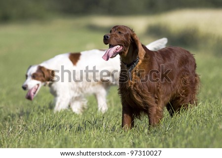 Beautiful hunting dogs resting in the field - stock photo