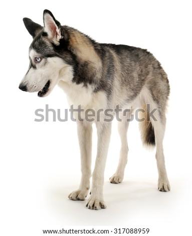 Beautiful huskies dog isolated on white - stock photo