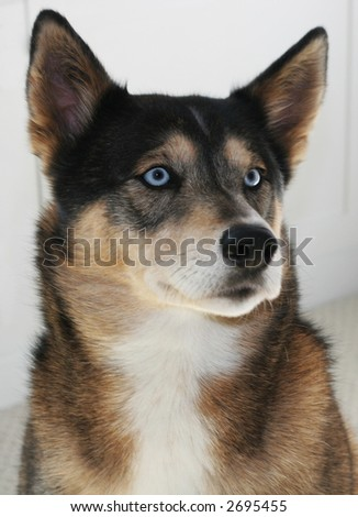 beautiful husky-mix dog - stock photo