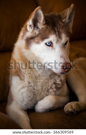 Beautiful husky resting indoor after a cold winter day - stock photo