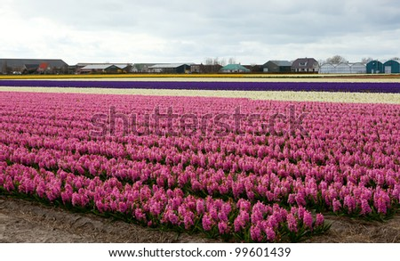 Beautiful hyacinth field in Holland - stock photo