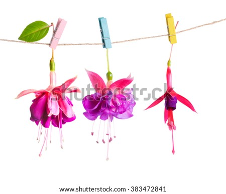 beautiful hybrid of fuchsia flowers handing on rope with colorful clothespin is isolated on white background, close up  - stock photo