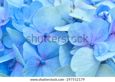 beautiful hydrangea floral background.