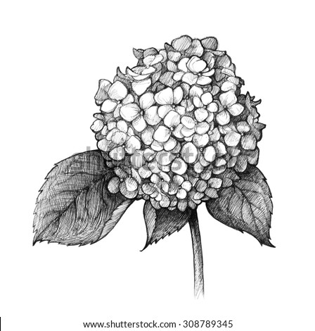 Hortensie black diamond