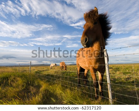 Beautiful Iceland horses in a pasture, with a horse with mane into the wind. - stock photo