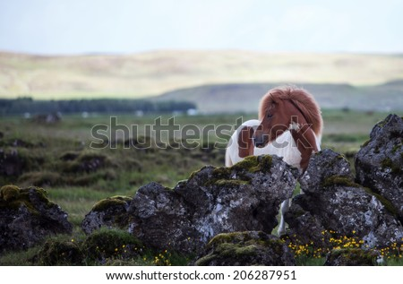 Beautiful Icelandic horse standing in a meadow on a dull summer day