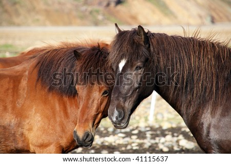 Beautiful Icelandic horses in Landmannalaugar region in the southwest of the country - stock photo