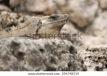 Beautiful iguana blending in with rocks - stock photo