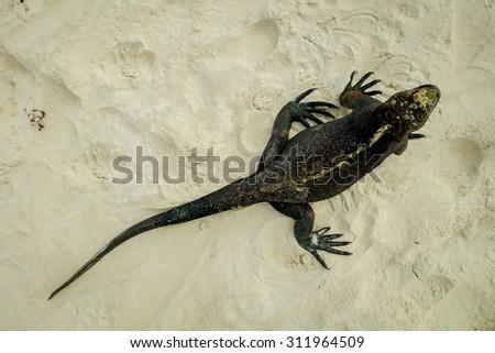 beautiful iguana resting in the beach in santa cruz galapagos islands above view - stock photo