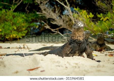 beautiful iguanas resting in the beach in santa cruz galapagos islands - stock photo
