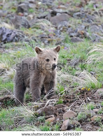 Beautiful image of a grizzly bear cub - stock photo