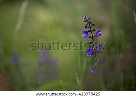 Beautiful image of a Meadow Clary (Salvia Pratensis), Raná, Czech Republic, 2016
