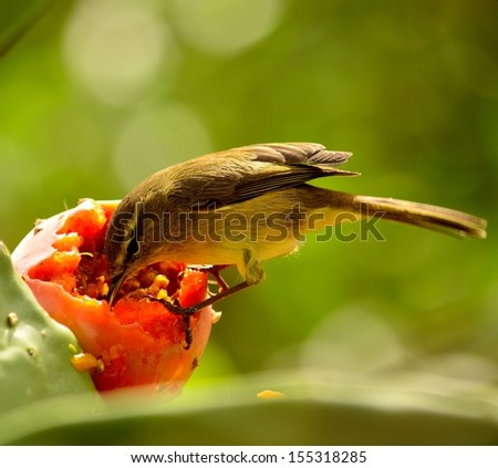 Beautiful image of magnificent bird phylloscopus canariensis eating inside of a juicy ripe prickly pear the sweet pulp of a delicious fresh fruit, on unfocused natural green background - stock photo