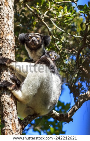 Beautiful image of the Indri lemur (Indri Indri) with crazy baby in Andasibe Mantadia national park in Madagascar - stock photo
