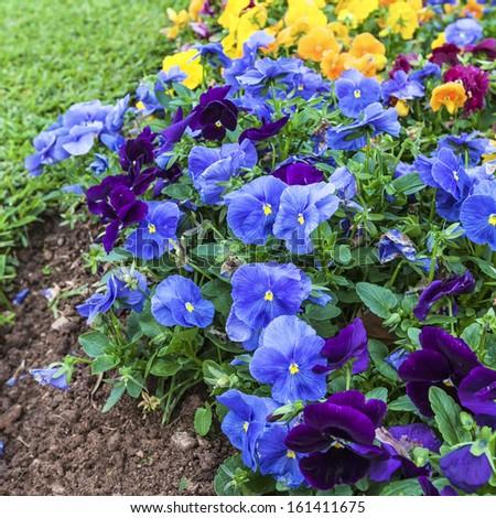 Beautiful impatiens flowers in the summer garden. - stock photo