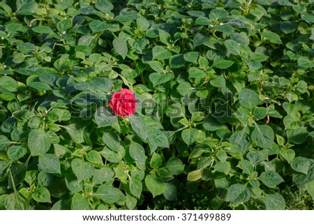 Beautiful impatiens walleriana flowers with green leaf, alone concept. - stock photo