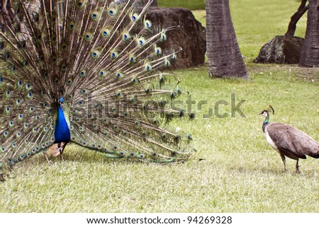 Beautiful indian peacocks in courtship  the male is  with fully fanned tail - stock photo
